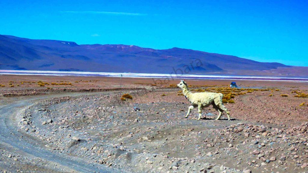 Altiplano Boliviano e uma Alpaca!