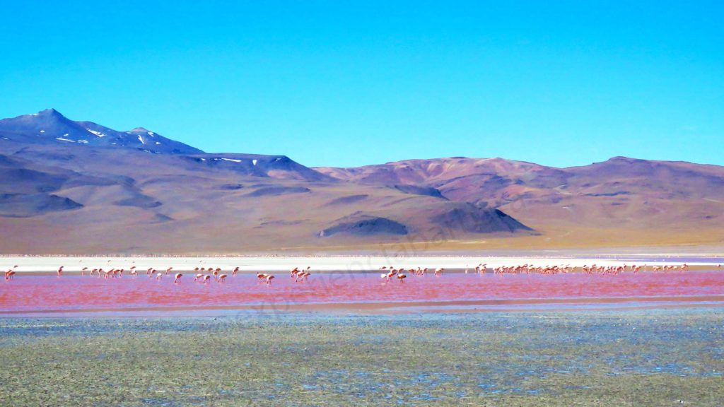 Flamingos na Laguna Colorada
