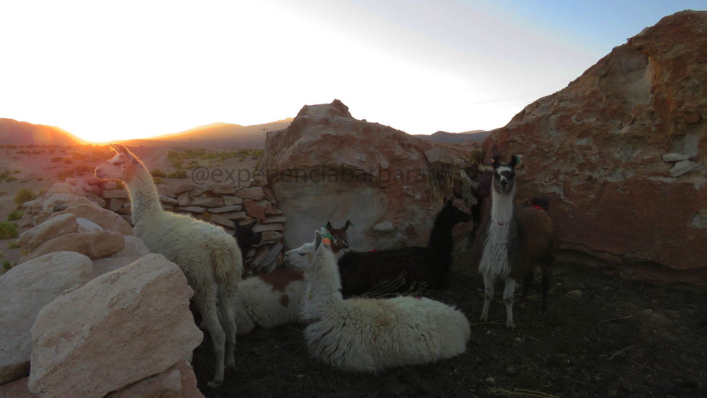 Llamas na Bolívia
