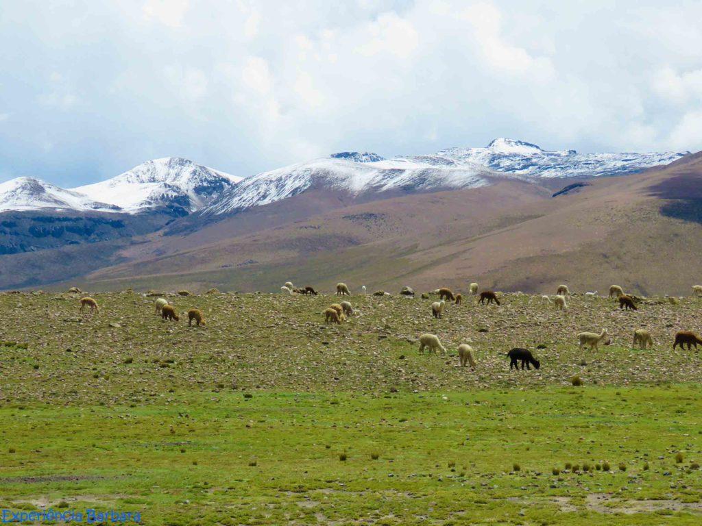 Cordilheira dos Andes, alpacas e llamas