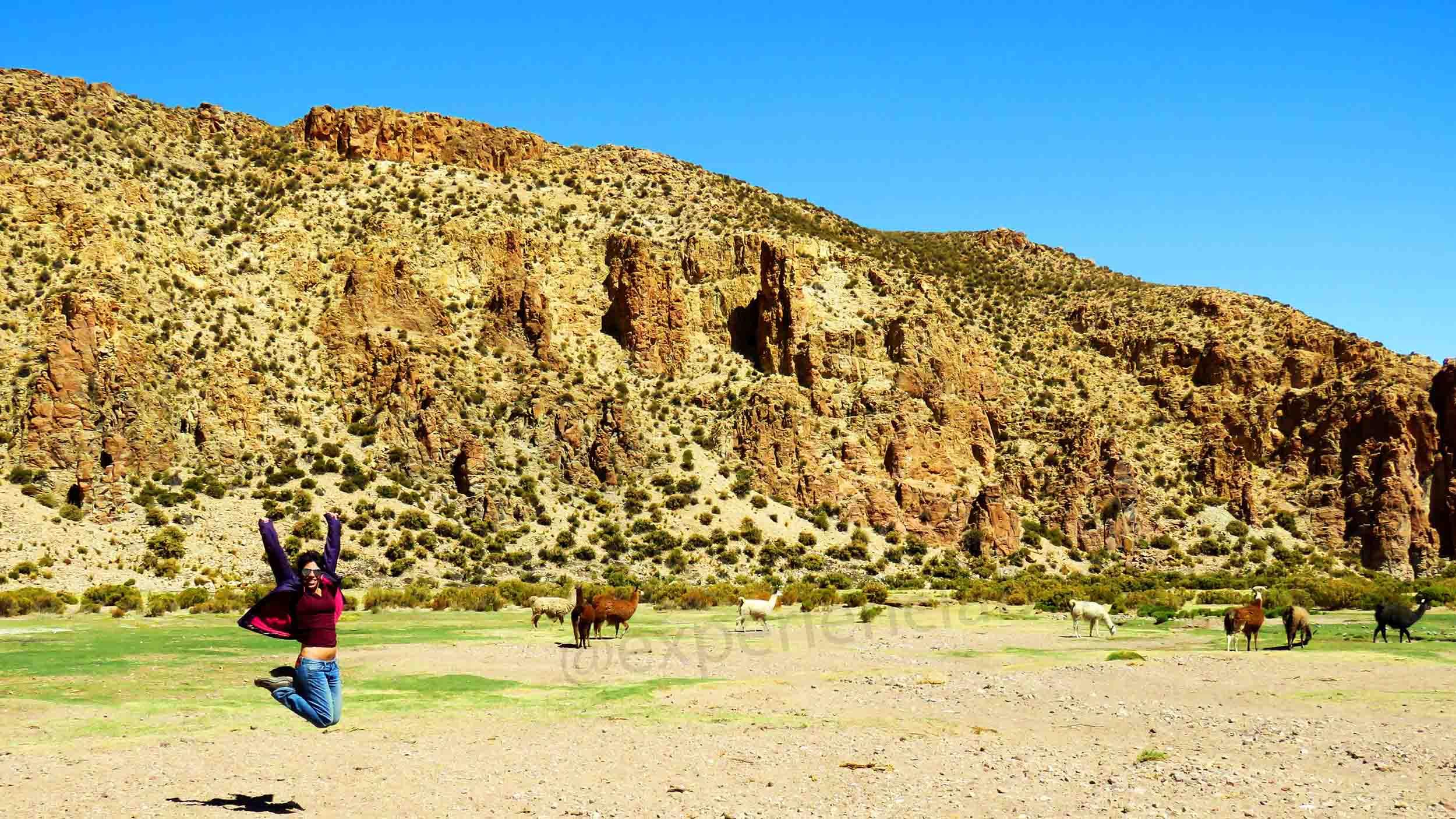 Lllamas no altiplano boliviano